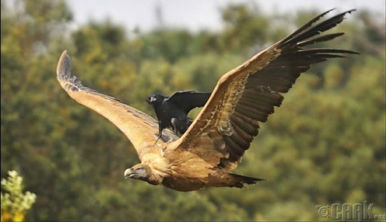 Шувуу хүртэл нисэхээс залхуу нь хүрсэн бололтой