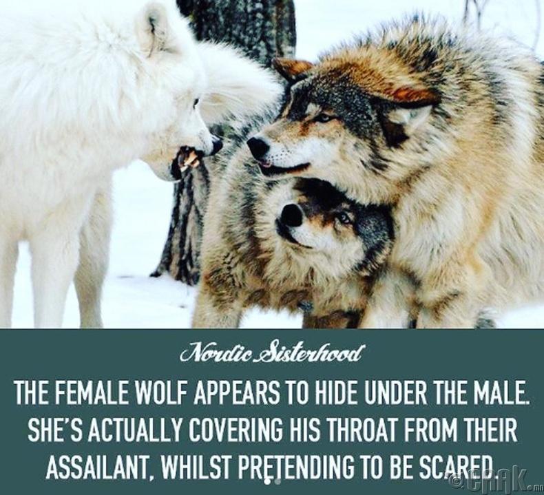 Тулааны үеэр гичий эр чонынхоо хүзүүг хамгаалдаг