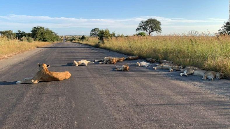 Өмнөд Африкт хөл хорионы үеэр арслангууд замыг эзэрхийлжээ