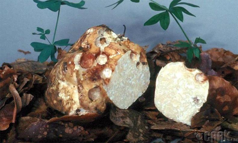 Цагаан трюфель (мөөг)