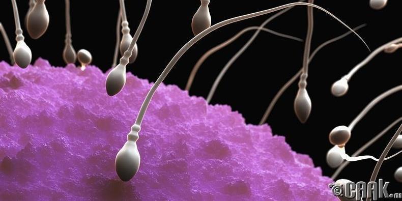 Спермүүдэд бие хамгаалагч байдаг