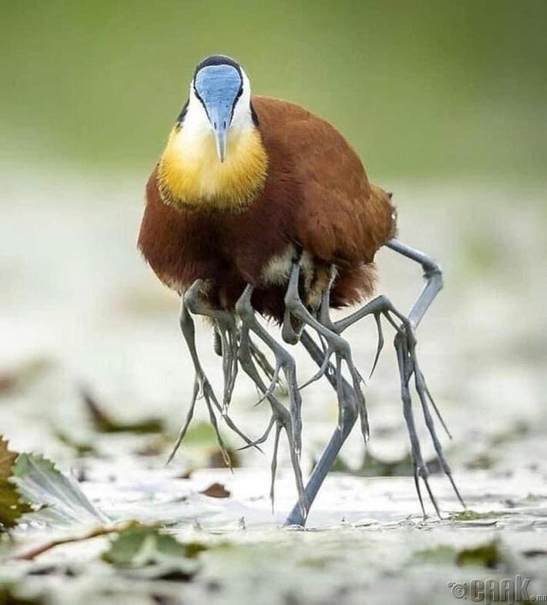 Африкийн жакана шувуу дэгдээхэйнүүдээ далавчныхаа доор хийж авч явдаг