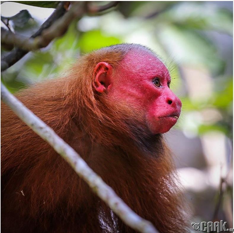 Улаан Какажао сармагчин