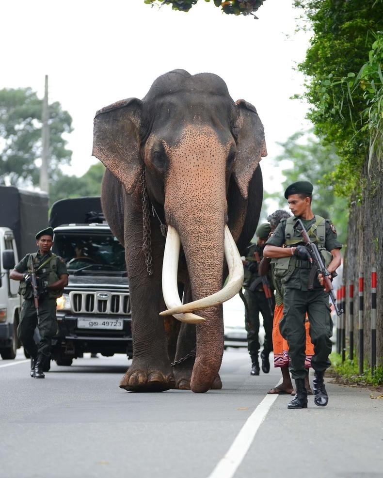Хамгийн урт соёотой энэхүү зааныг хулгайн анчдаас хамгаалахын тулд Шри-Ланк улс зэвсэглэсэн цэргүүдийг 24 цагийн манаанд гаргажээ