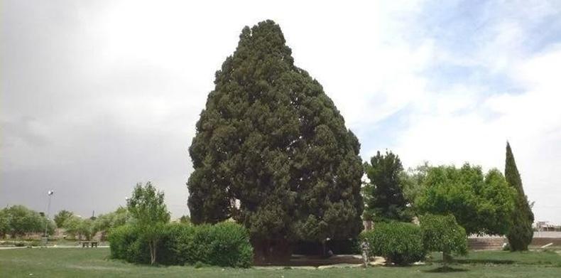 Сарв-э-Абарку - 4500 настай