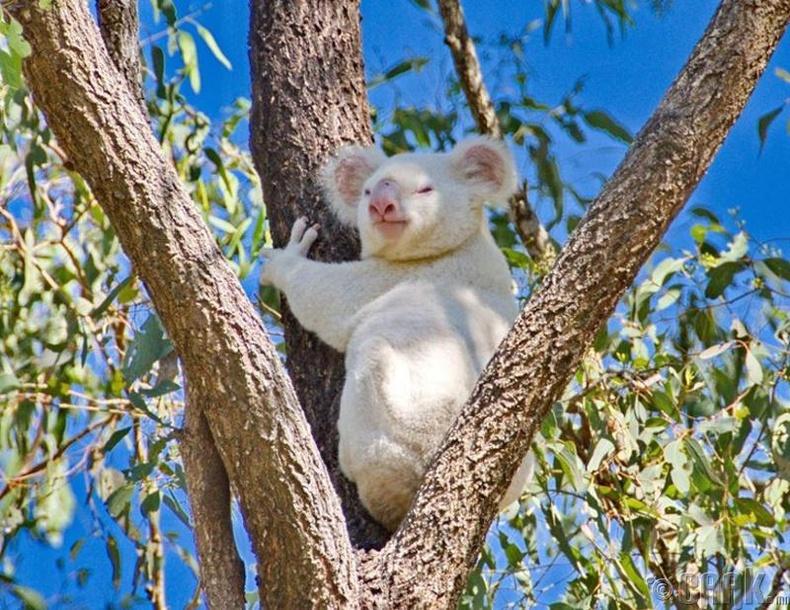 Австралийн үндэсний цэцэрлэгт хүрээлэн дэх албино Коала