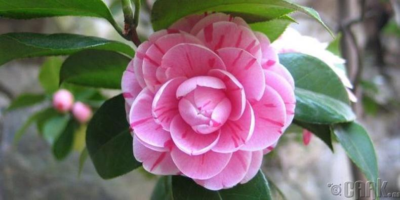 Японы Камелия (Japanese camellia)