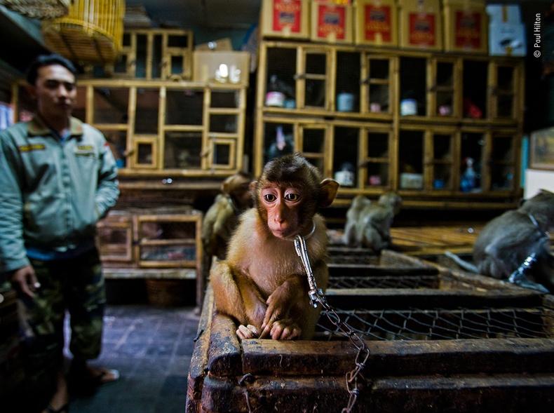 Гинжлүүлсэн бяцхан сармагчин, Пол Хилтон