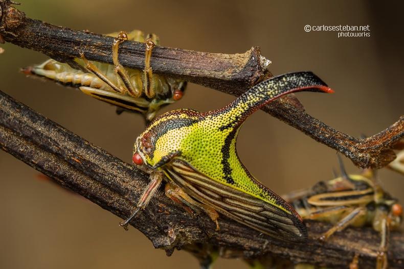Өргөст цох (Umbonia crassicornis)