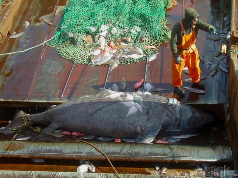 Аварга загаснууд урт насалдаг