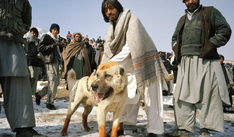 Афганистаны уламжлалт нохой зодооны харгис дүр төрх