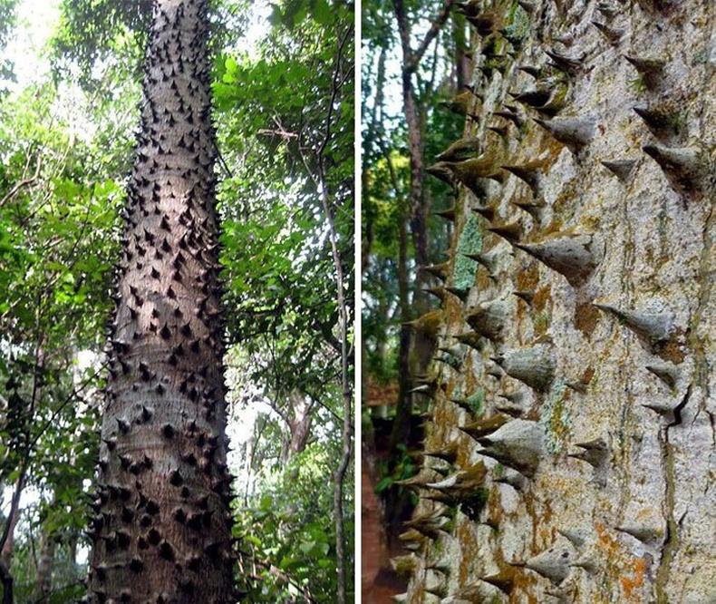 Хура мод. Үр, давирхай зэрэг нь хортой энэ ургамал өргөсөөр хучигдсан байдаг. Боловсорсон жимс нь унахдаа дэлбэрч 25-30 метрийн зайд үсэрнэ