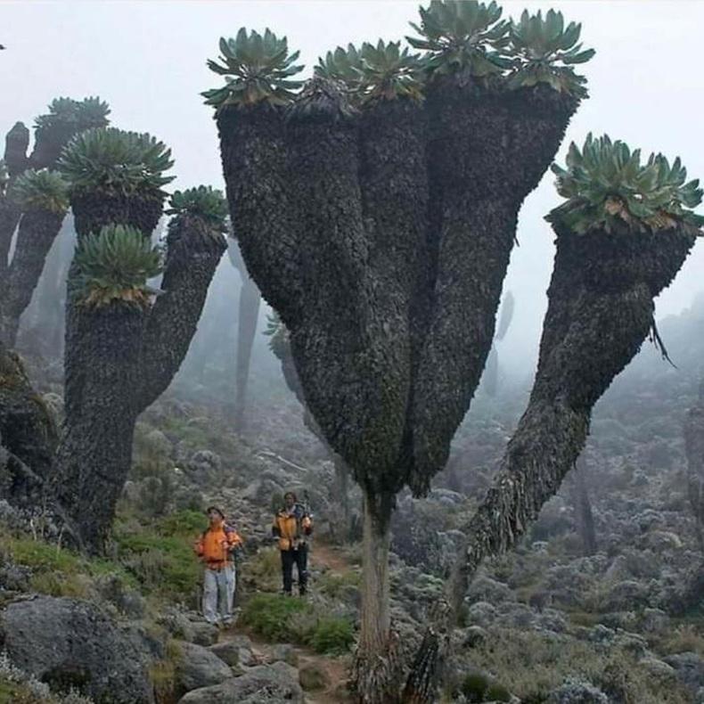 Африкийн Килиманжаро ууланд байдаг балар эртний модод