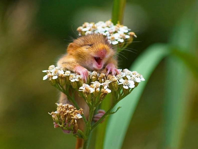 Хээрийн өөхөөрдөм хулганууд