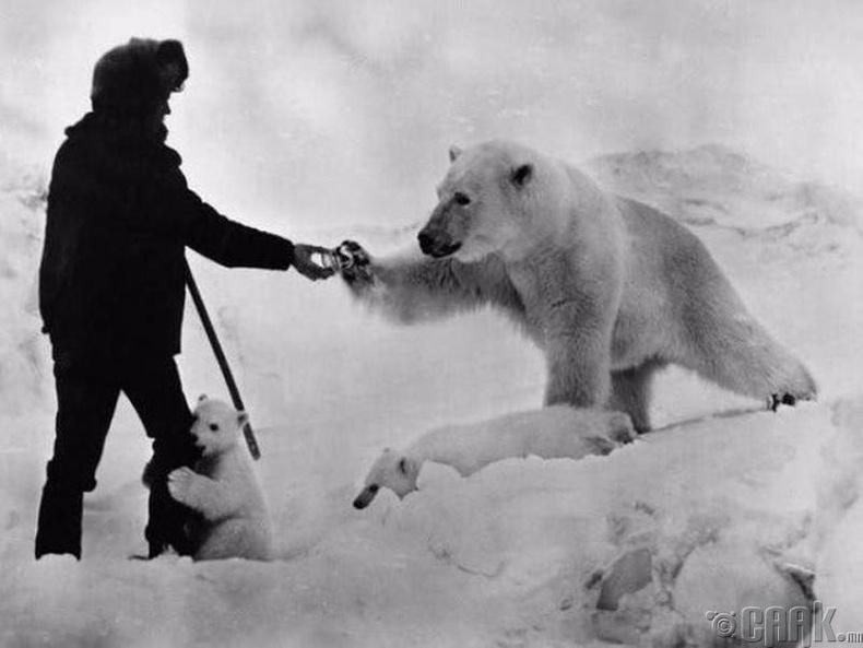 Антарктидад цагаан баавгай хооллож байгаа нь, 1960 он