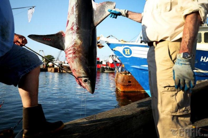 Аварга загас хүмүүсийг хайр найргүй хөнөөдөг