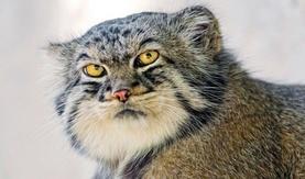 Дэлхийн хамгийн өхөөрдөм амьтан Монголд байдгийг мэдэх үү?