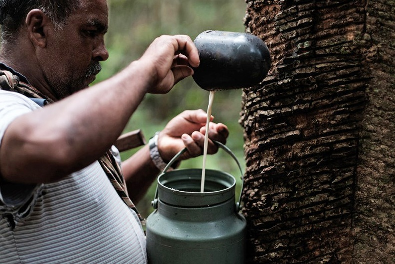 Амазоны ширэнгэн ой дахь бэлгэвч үйлдвэрлэгчдийн амьдрал