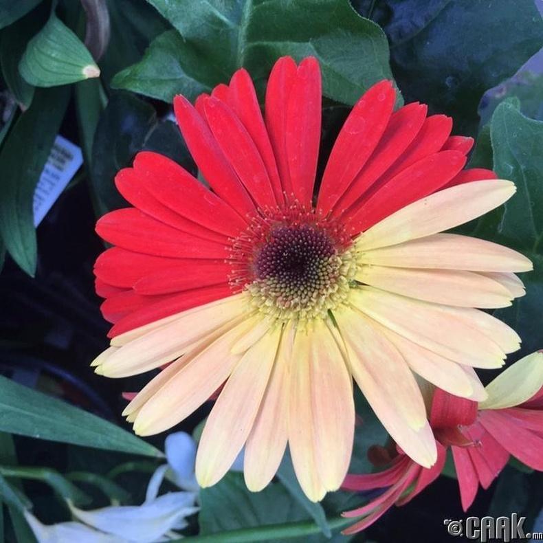 Өвөрмөц будалттай цэцэг