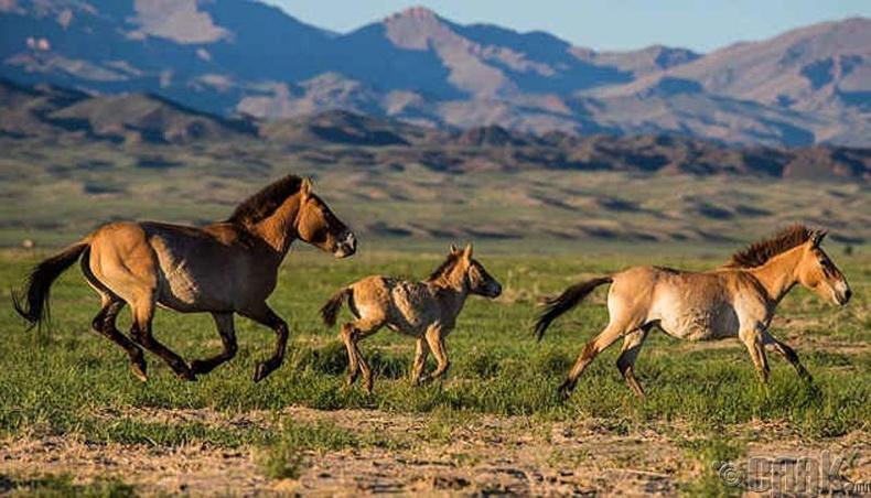 Хамгийн сүүлчийн зэрлэг морьд