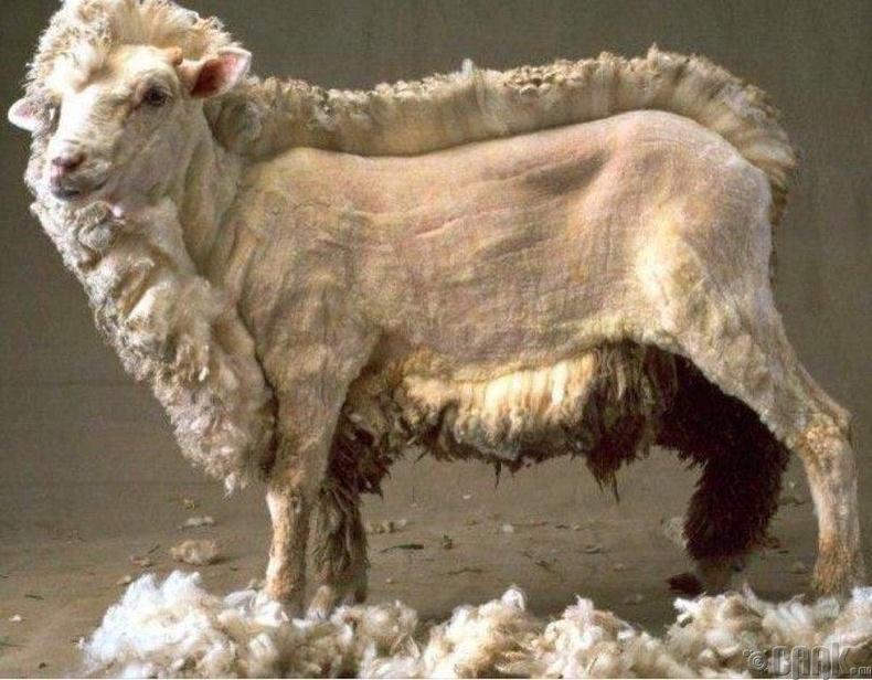 Меринус хонь
