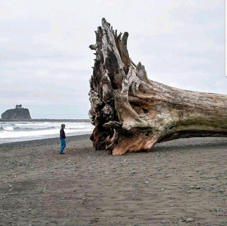 Далайн эрэг дээрх аварга мод