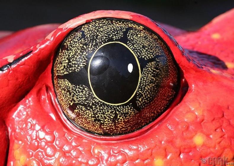 Физиологийн холбоогүй байдал ба мэлхийн хар нүд