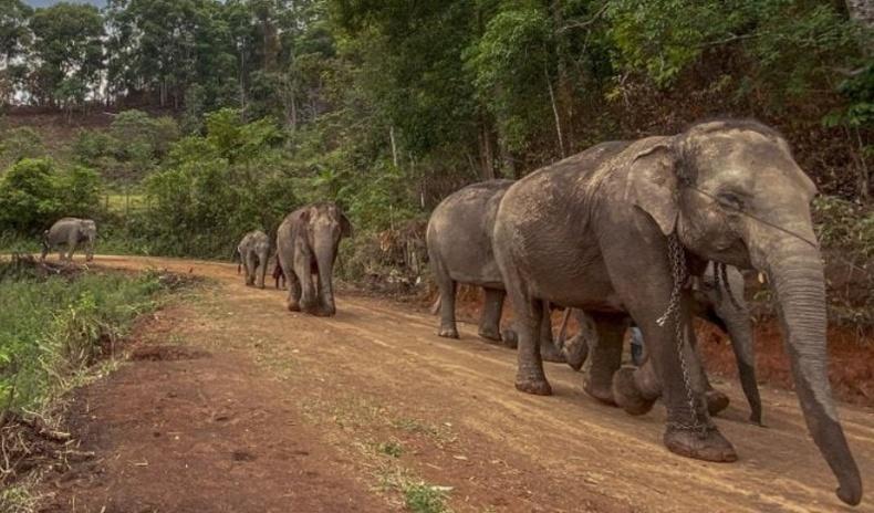 Цар тахлаас болж Тайландын амьтны хүрээлэнгийн заанууд байгальдаа эргэн очжээ