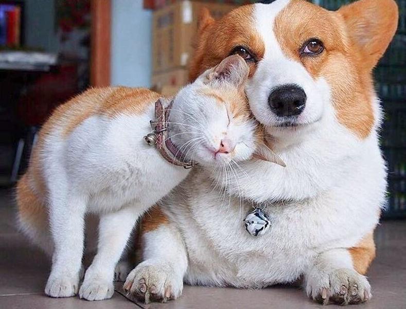 """Корги нохой, """"корги"""" муур"""