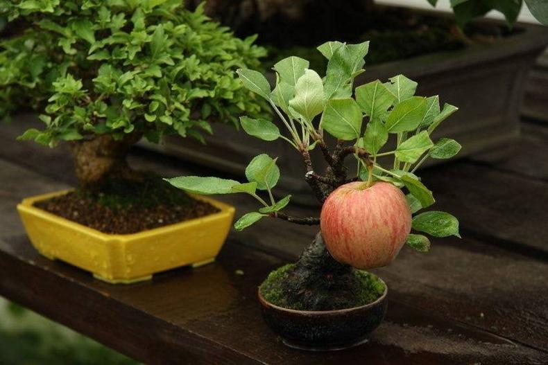 Бонсай мод энгийн хэмжээтэй алим ургуулжээ
