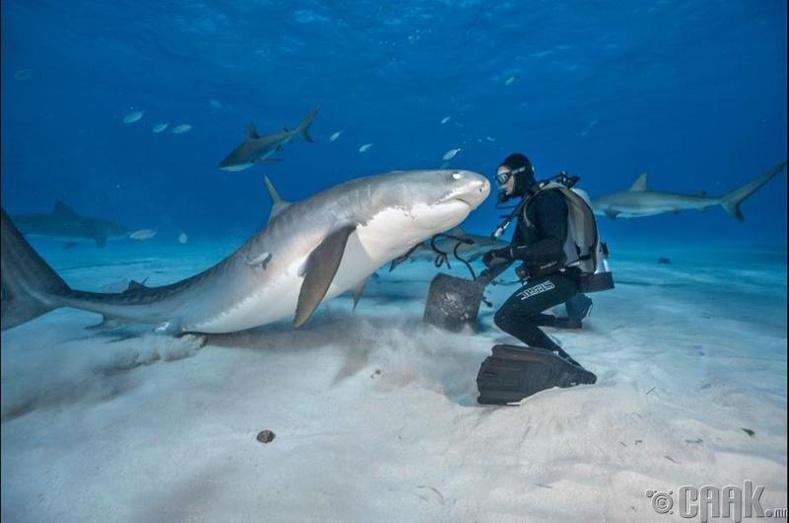 Багам-ын арлуудын ойролцоох аварга загаснууд