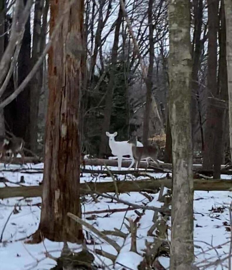 Цав цагаан зүстэй бор гөрөөс