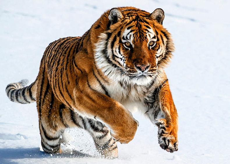 Дэлхийн хамгийн хүчирхэг араатан Сибирийн бар