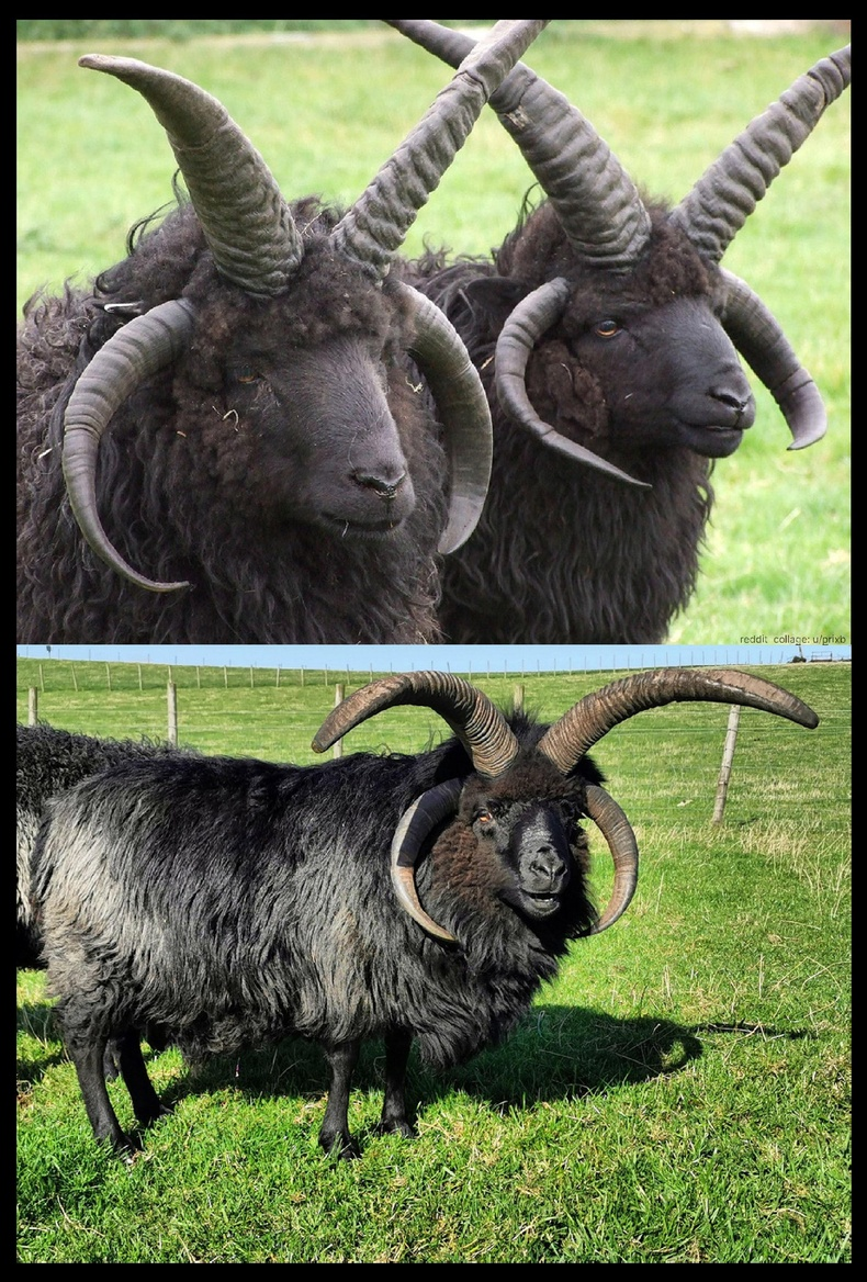 Шотландаас гаралтай Хебридеан үүлдрийн хонь дөрвөн эвэр ургуулдаг