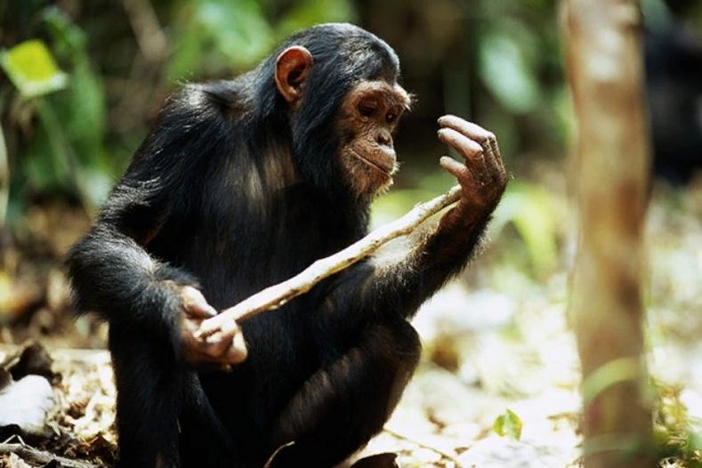 Шимпанзегийн монш чулуу болон модоор хүүхэлдэй хийж тоглодог