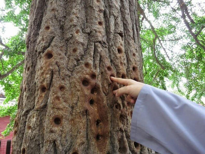 Шаолины сүмийн лам нар энэ модыг хуруугаараа хатган бэлтгэл хийдэг