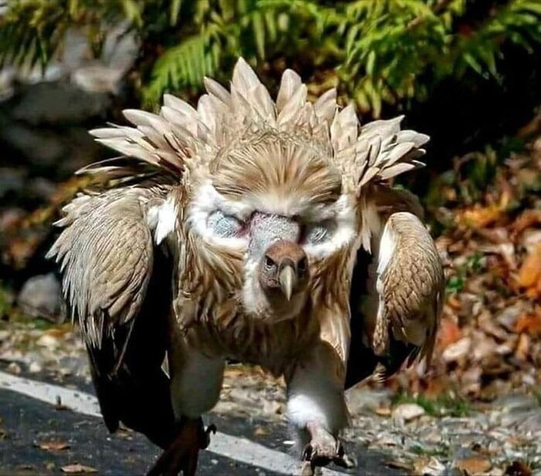 Гималайн тас шувуу
