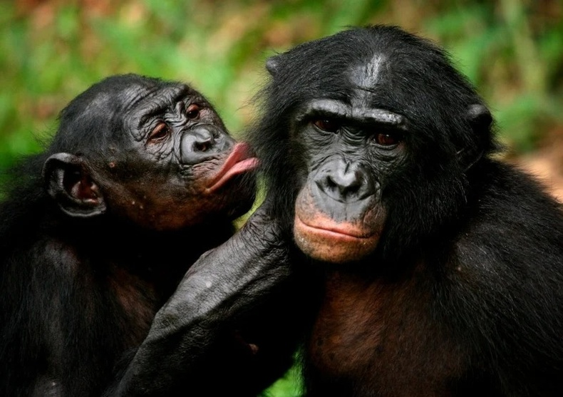 Бонобо бич (лат. Pan paniscus)
