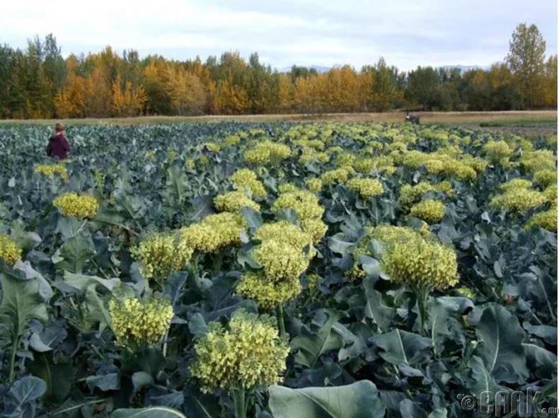 Брокколи нь ургаж байхдаа дэлбээгээ хумисан цэцгийн баглаа шиг харагддаг.