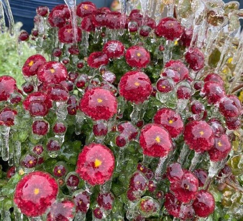 Бороо цас холилдон орсны дараах цэцэгс