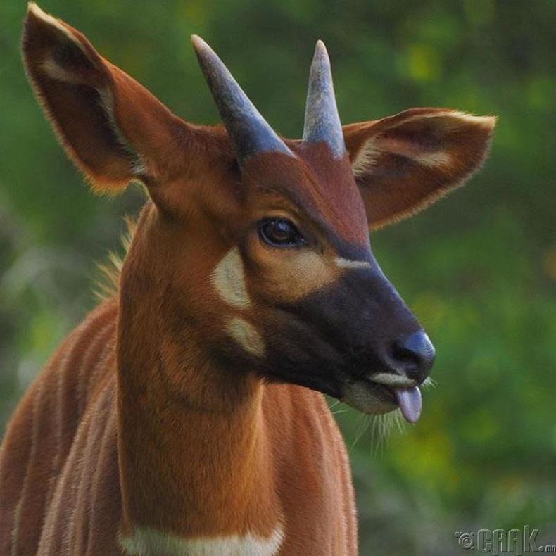 Үхэртэй төстэй Бонго гөрөөс
