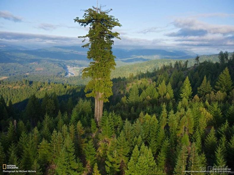 Дэлхийн хамгийн өндөр Хиперион мод, 115.6 метр өндөр, 800 жилийн настай