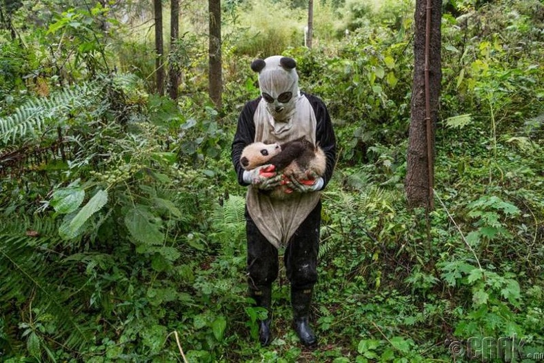 БНХАУ-ын амьтны хүрээлэнгийн ажилтан дөнгөж төрсөн хулсны баавгайг зөөж байна