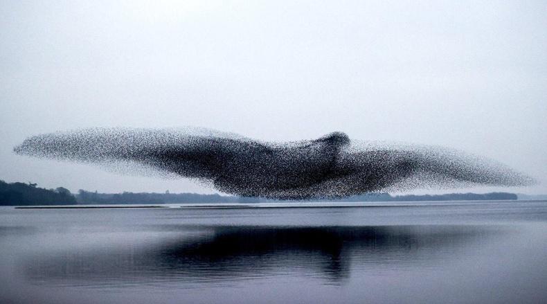 Тодол шувууны сүрэг, Ирланд