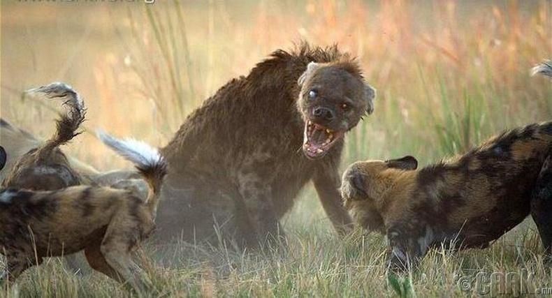 Сүргийн ахлагч цөөвөр чоно Африкийн зэрлэг ноходтой тулгарчээ