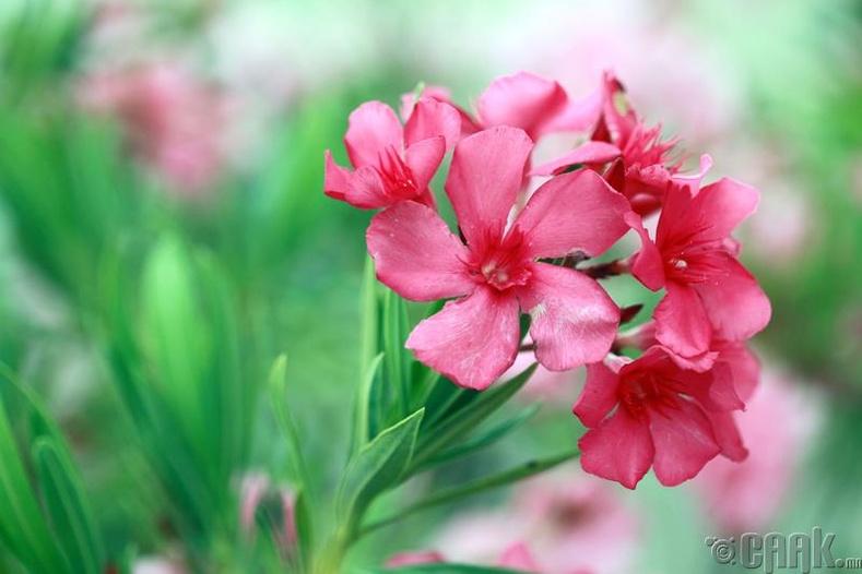 Хулслаг улаан цэгцүүхэй (Oleander)