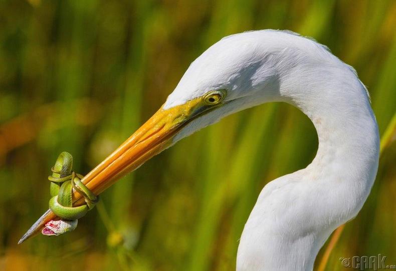 Дэглий шувууны хоол болохгүйн тулд хошууг нь ороон тэмцэж буй могой