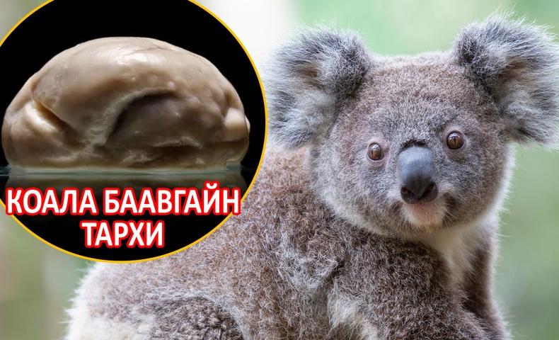 """Дэлхийн хамгийн """"ухаан муутай"""" амьтдын нэг коала баавгай яагаад усталгүй үлдсэн бэ?"""