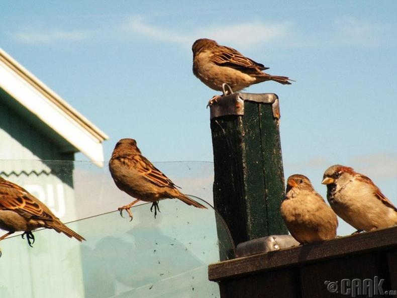 Шувуу гэрт орж ирэх