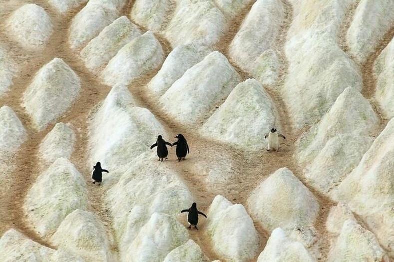Мөсөн уулан дээр оцон шувуунуудын гаргасан жим